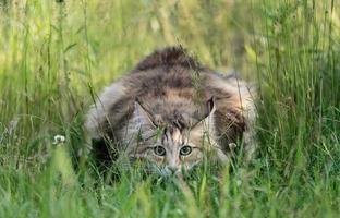 Chat des forêts norvégiennes femelle dans les hautes herbes