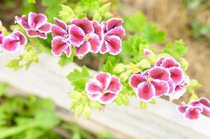 Fleurs de pélargonium rose en pleine floraison dans le jardin photo