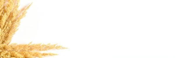 herbe de pampa isolé sur fond blanc photo