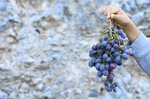 La main d'un enfant tient une grappe de raisins crétois noirs sauvages mûrs contre une falaise de pierre