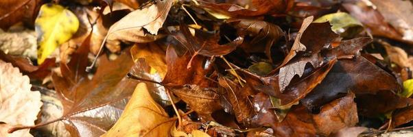 feuilles d'érable d'automne tombées, rouges et humides photo