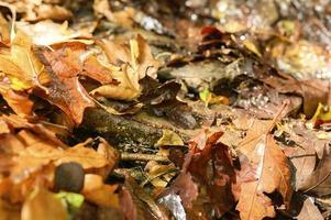 feuilles d'érable d'automne tombées photo