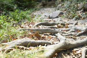 racines nues d'arbres dépassant du sol dans les falaises rocheuses en automne photo