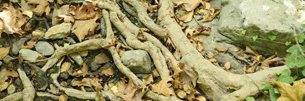 racines nues d'arbres dépassant du sol dans les falaises rocheuses et les feuilles mortes en automne photo
