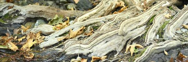 Racines nues d'arbres poussant dans les falaises rocheuses entre les pierres et l'eau en automne photo