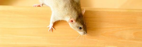 Rat pelucheux animal mignon avec fourrure beige marron sur fond blanc photo