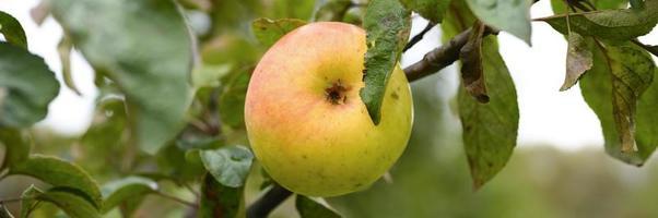 Pommes mûres vert rouge sur une branche d'un pommier dans le jardin photo
