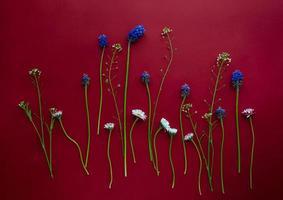 arrangement floral flatlay de petites marguerites et muscari sur fond rouge foncé