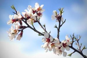 branche de cerisier avec des fleurs photo