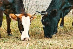 deux vaches bovines paissent près du cours d'eau photo