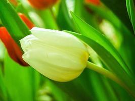 fleur de tulipe dans le jardin photo