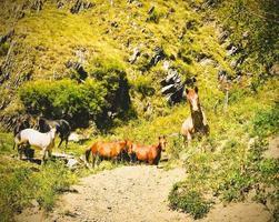 Jolis chevaux blancs et bruns debout sur un sentier de randonnée atsunta dans le parc national de Tusheti photo