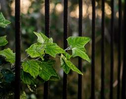 Feuilles vertes contre un portail en fer rouillé photo