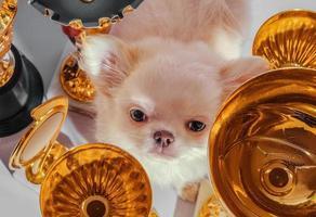crème chihuahua parmi les coupes en or photo