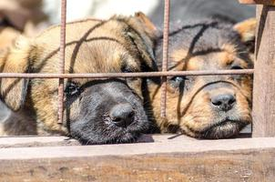 deux chiots derrière une clôture photo
