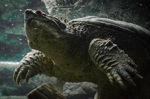 Grande tortue caïman nageant sous l'eau