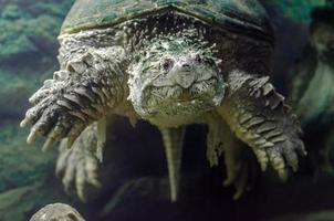 Grande tortue caïman sous l'eau