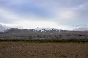 fleurs sauvages qui fleurissent en été près d'un glacier islandais photo