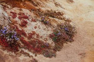 Fleurs sauvages violettes et rouges sur la plage de San Diego