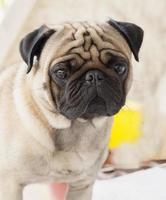 mon adorable chien carlin nom zumo
