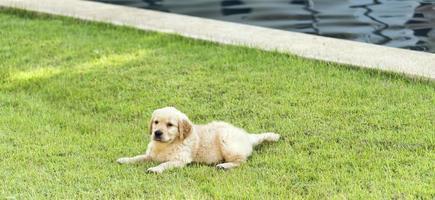 Chiot golden retriever sur l'herbe verte photo