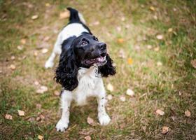 Portrait d'épagneul russe d'un chien photo