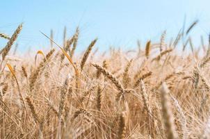 épillets de blé photo
