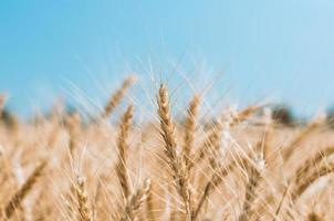 gros plan de champ de blé photo