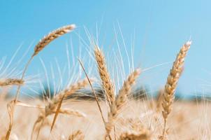 gros plan de blé photo