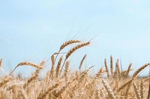 champ de blé contre le ciel photo