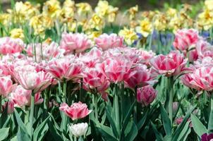 tuips roses et jaunes photo