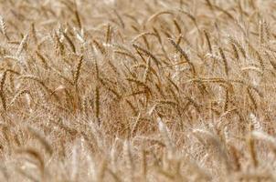 texture de champ de blé photo