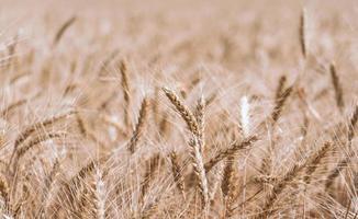 champ de blé beige photo