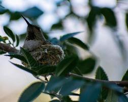 Colibri au repos dans un nid photo