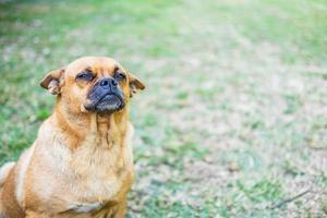 chien brun assis dans l'herbe photo