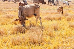 troupeau de vaches mangeant de l'herbe photo