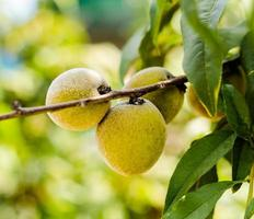 prunes jaunes sur une branche photo