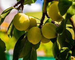 prunes jaunes dans l'ombre photo