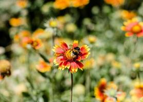 abeille sur une fleur rouge et jaune photo
