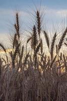 champ de seigle au coucher du soleil photo