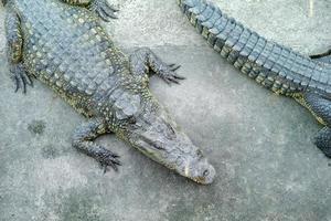 Vue de dessus crocodile dormant sur le sol en ciment dans la ferme