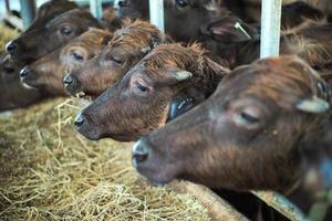 mise au point sélective sur la foule de vaches journalières à la ferme