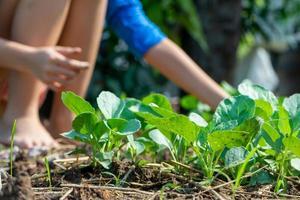 Gros plan groupe de jeunes brocolis chinois poussant dans le potager