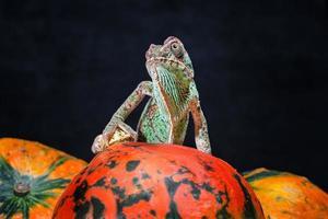 caméléon sur une citrouille orange vif