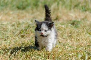 chaton noir et blanc dans l'herbe