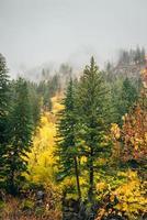pins hauts dans la forêt d'automne