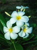 fleurs de frangipanier dans la nature photo