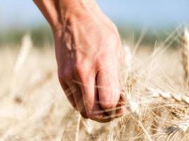 main, toucher, blé photo