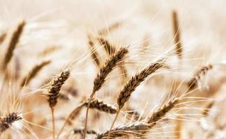 champ de blé au soleil photo