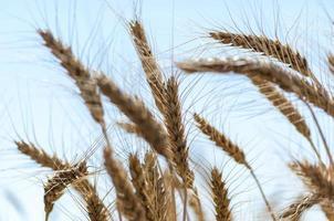 blé contre le ciel bleu photo